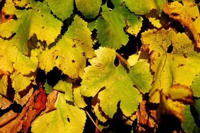 Vine_leaves