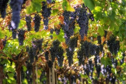 Grapes ready for the wine harvest near our Abruzzo hotels and villas