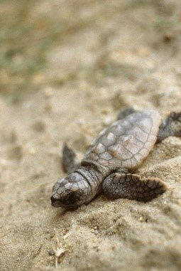 Baby loggerhead sea turtle on the beach near our villas in Sicily