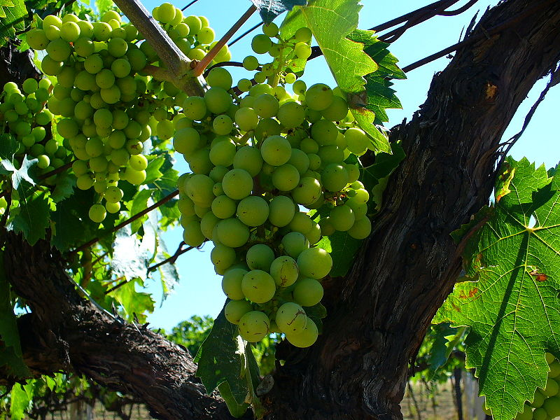 800px-Trebbiano_d'_Abruzzo_grapes_before_veraison