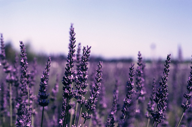 Visit the Festival of Lavender in Assisi near our Umbria apartments