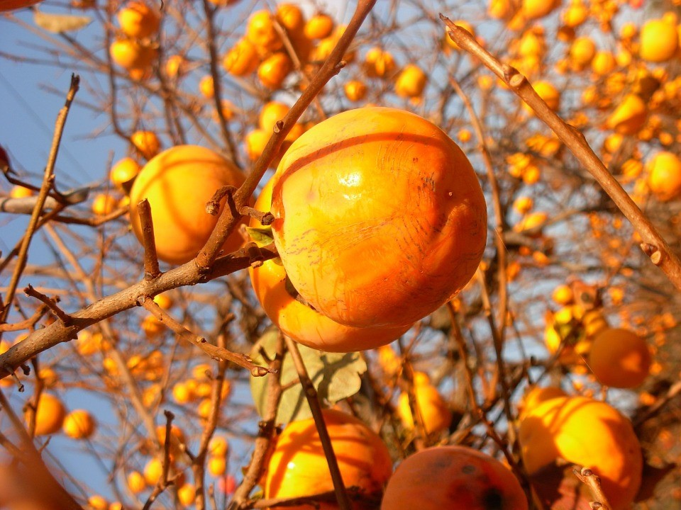 Orange persimmons fruits found in the autumn in Italy