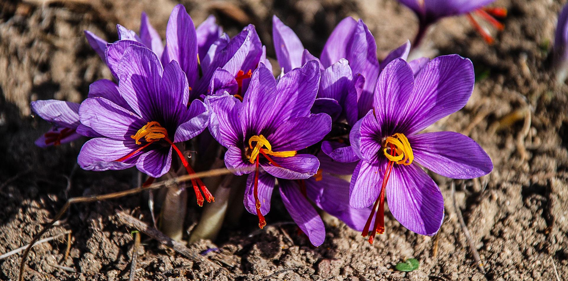 Saffron crocuses grown near our luxury hotels, Umbria.
