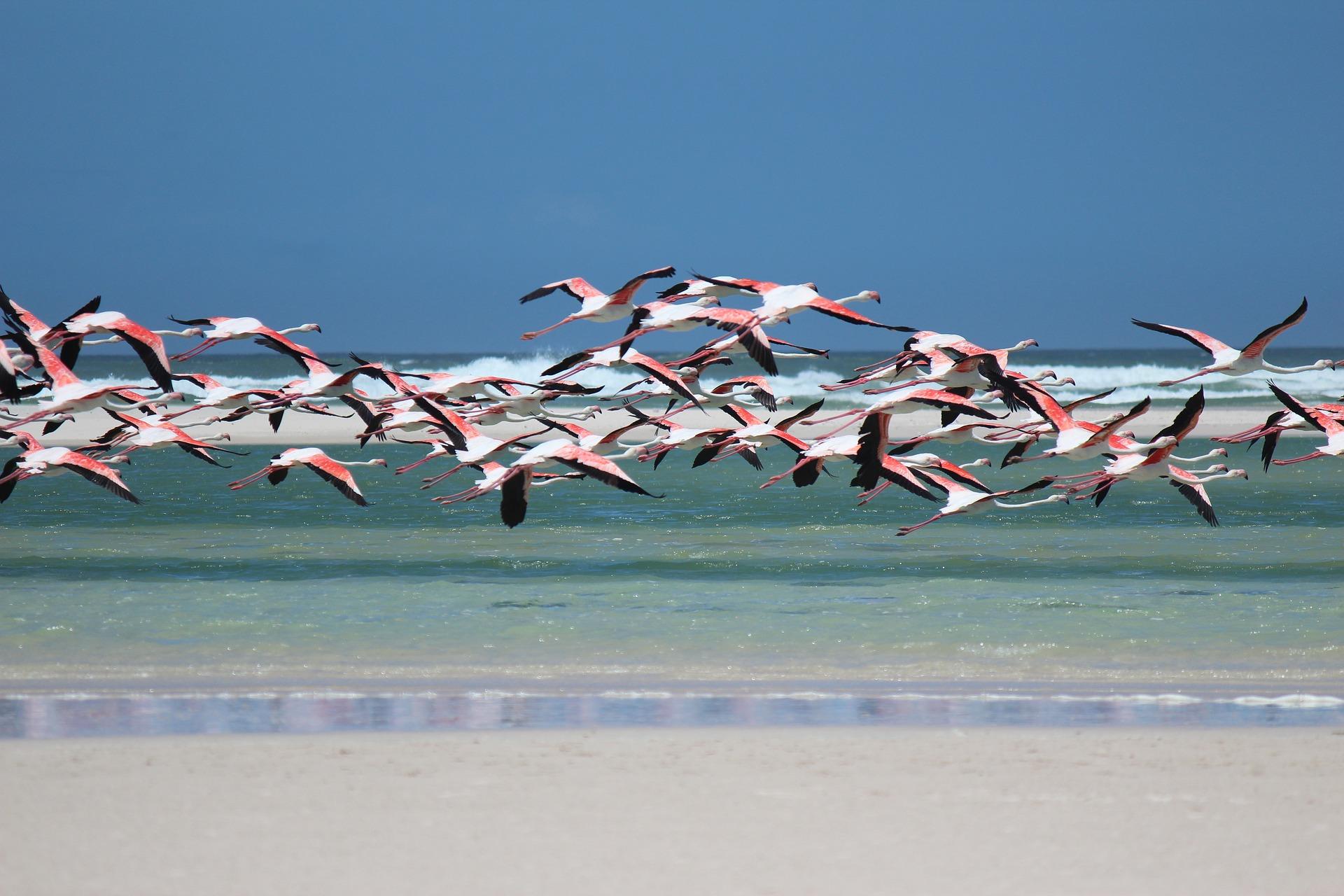 flamingos flying over sea