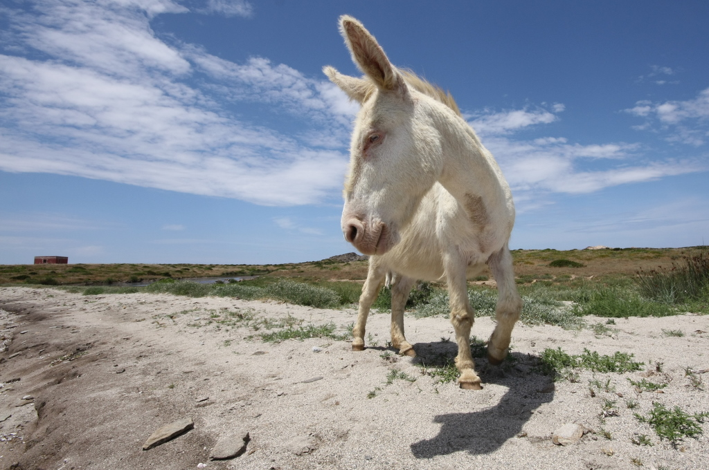 A donkey on the sand at Asinara National Park