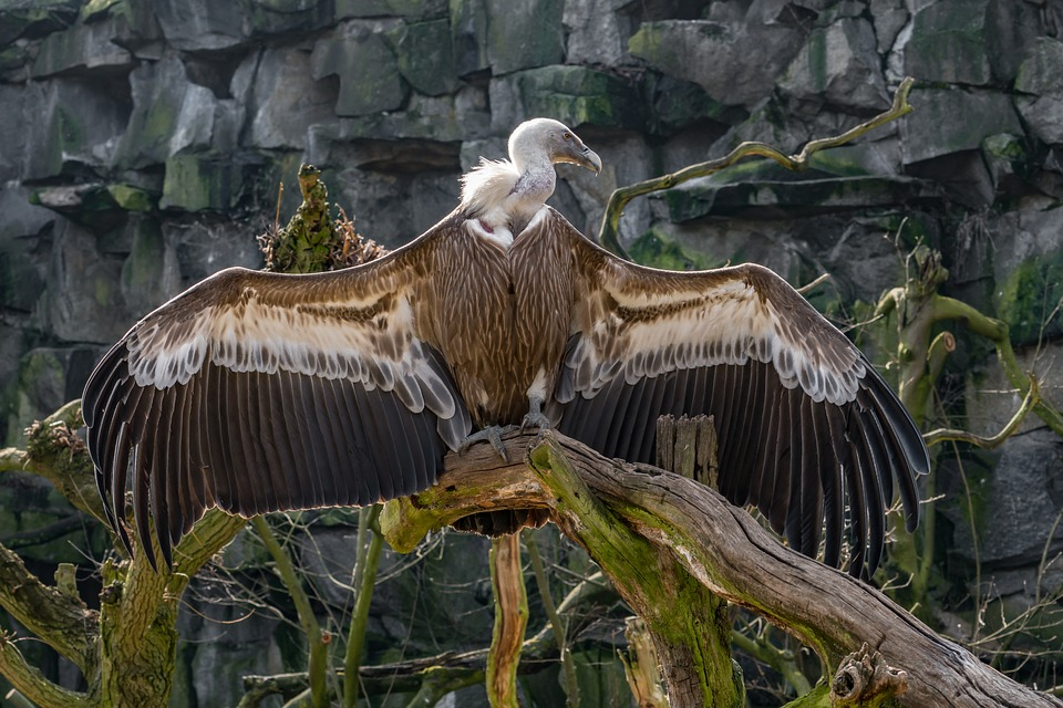 A griffon vulture on an old tree branch
