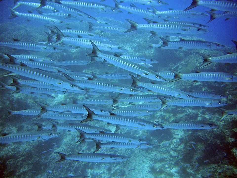A school of barracudas