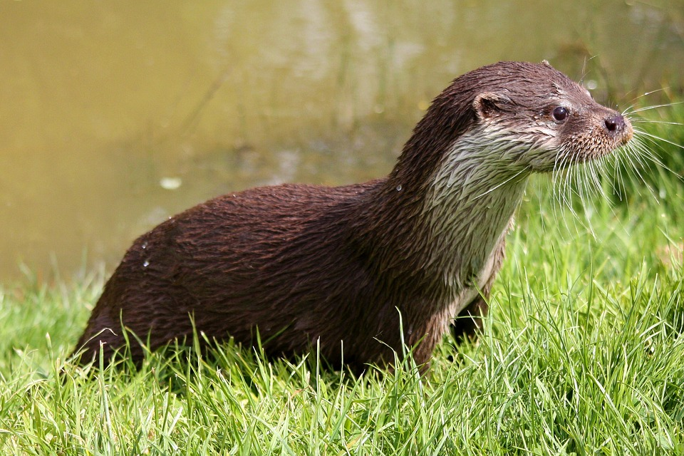 A European otter with wet fur