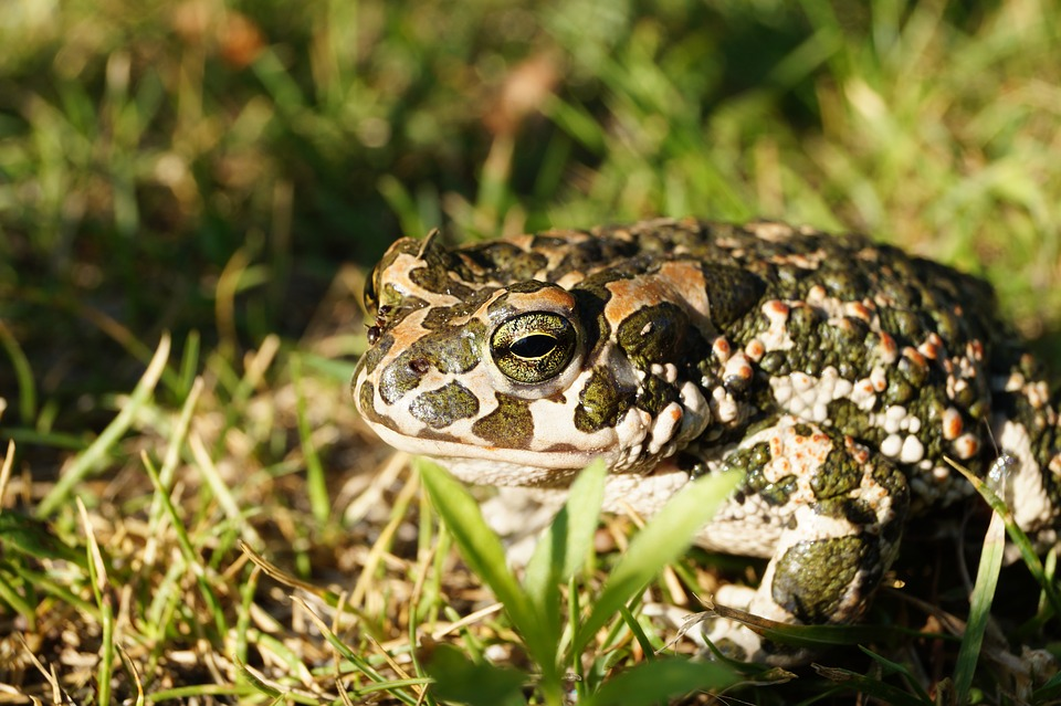 A European toad with green spots