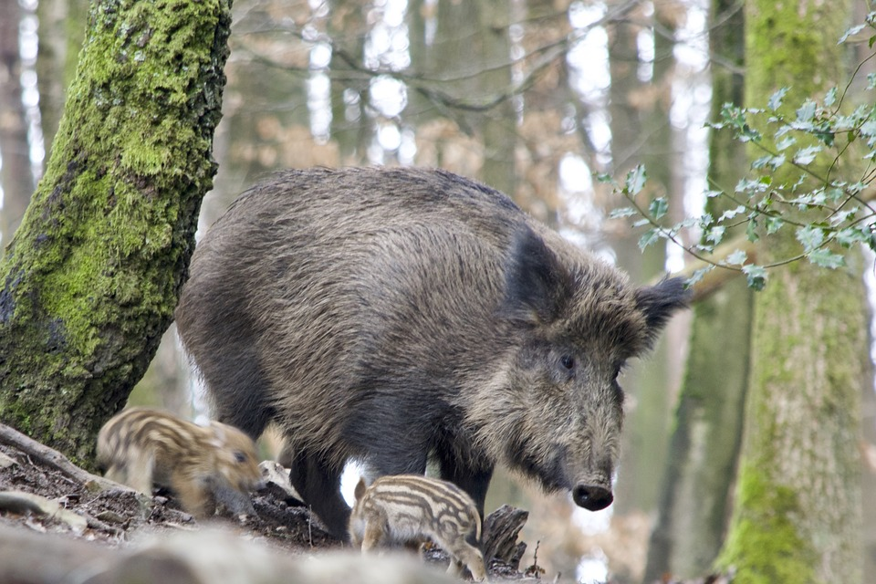 A wild boar with piglets in a forest