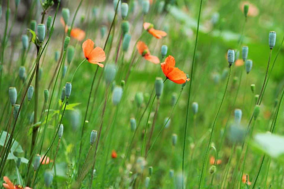 Poppies in a field in Italy