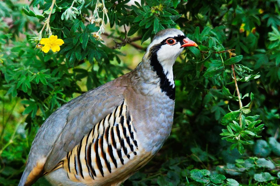 A rock partridge surrounded by green plants