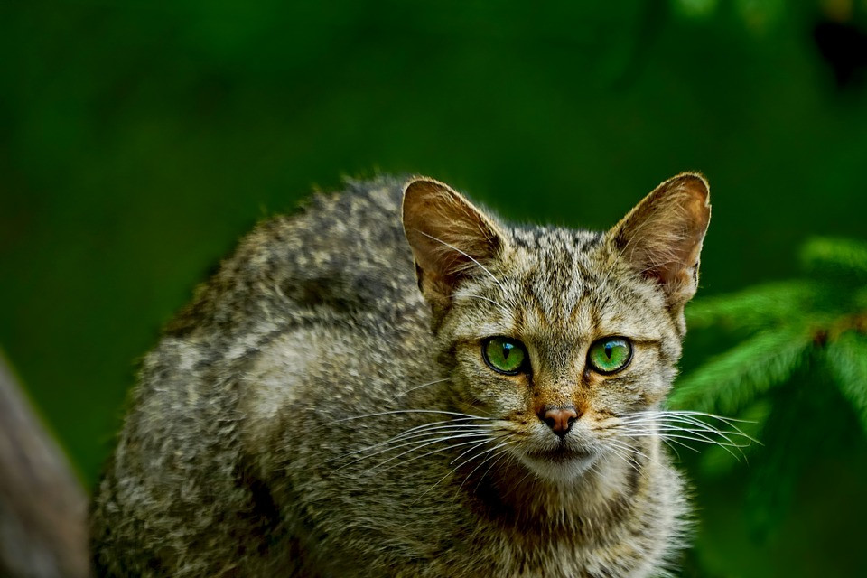 A wildcat with green eyes