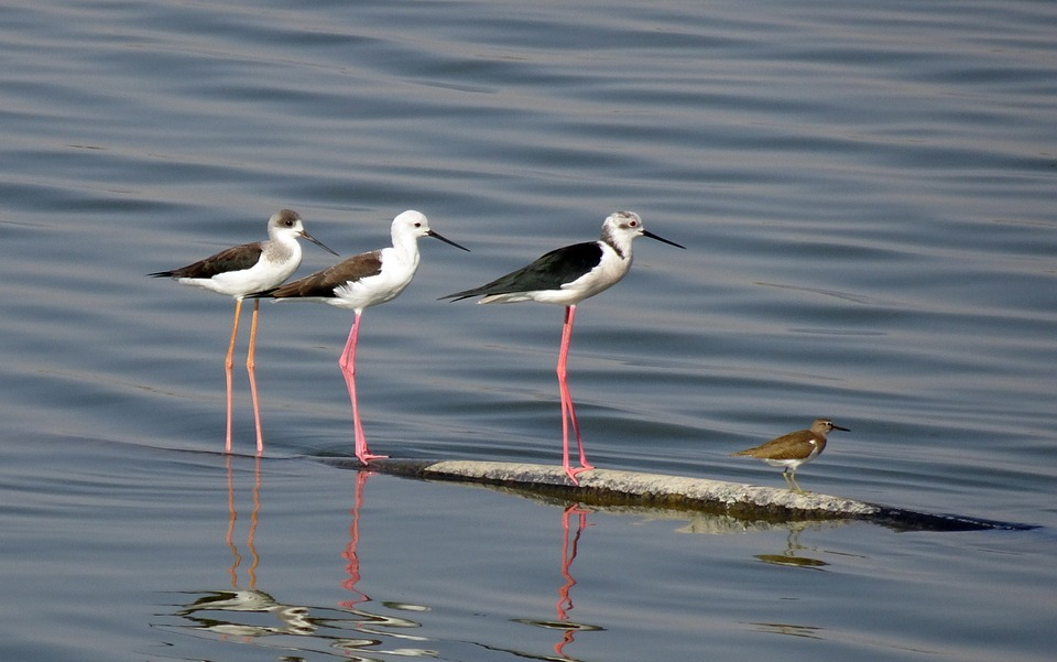 Black-winged stilts with young on shallow water