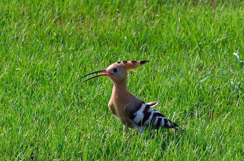 A hoopoe bird on grass