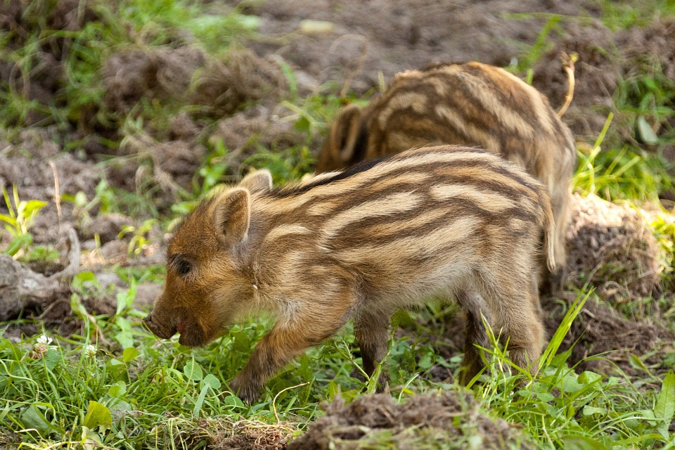 Young wild boar foraging