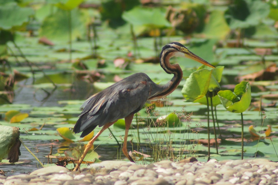A purple heron