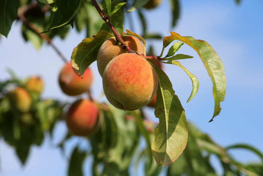 Peaches growing in Tuscany