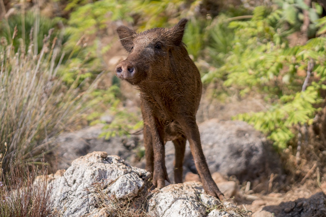 Wild boar in Tuscany