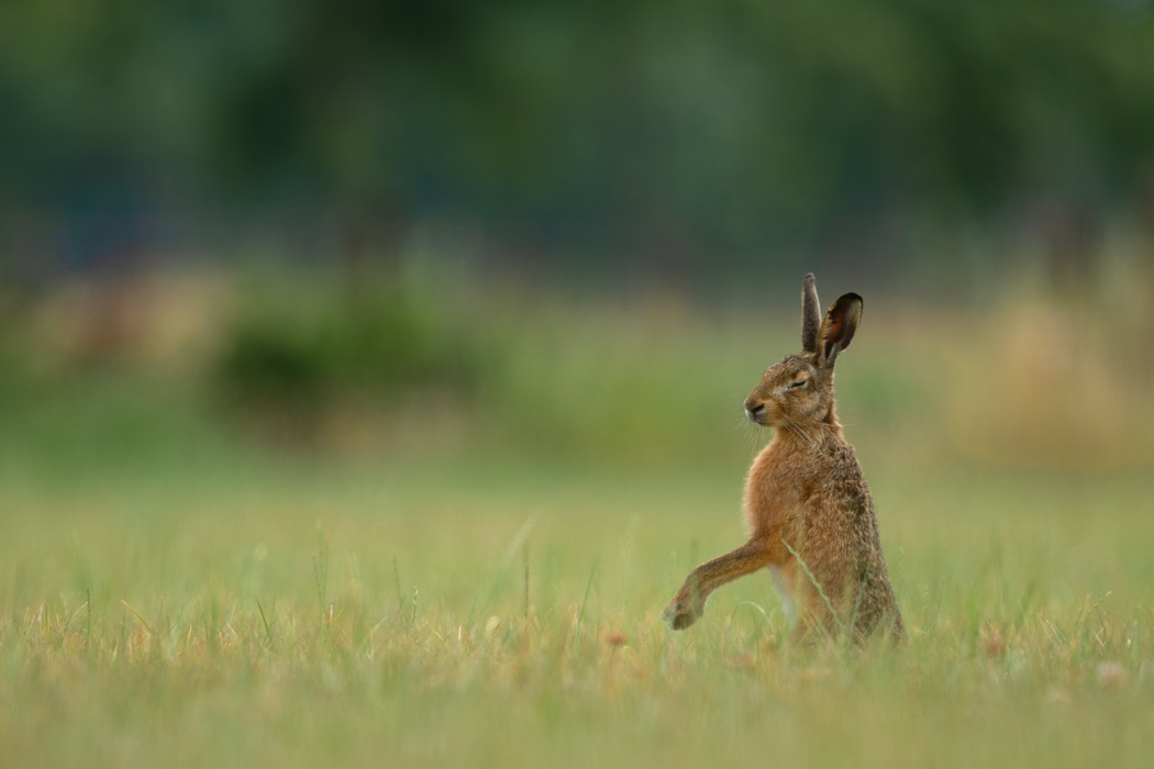Hare in Tuscany