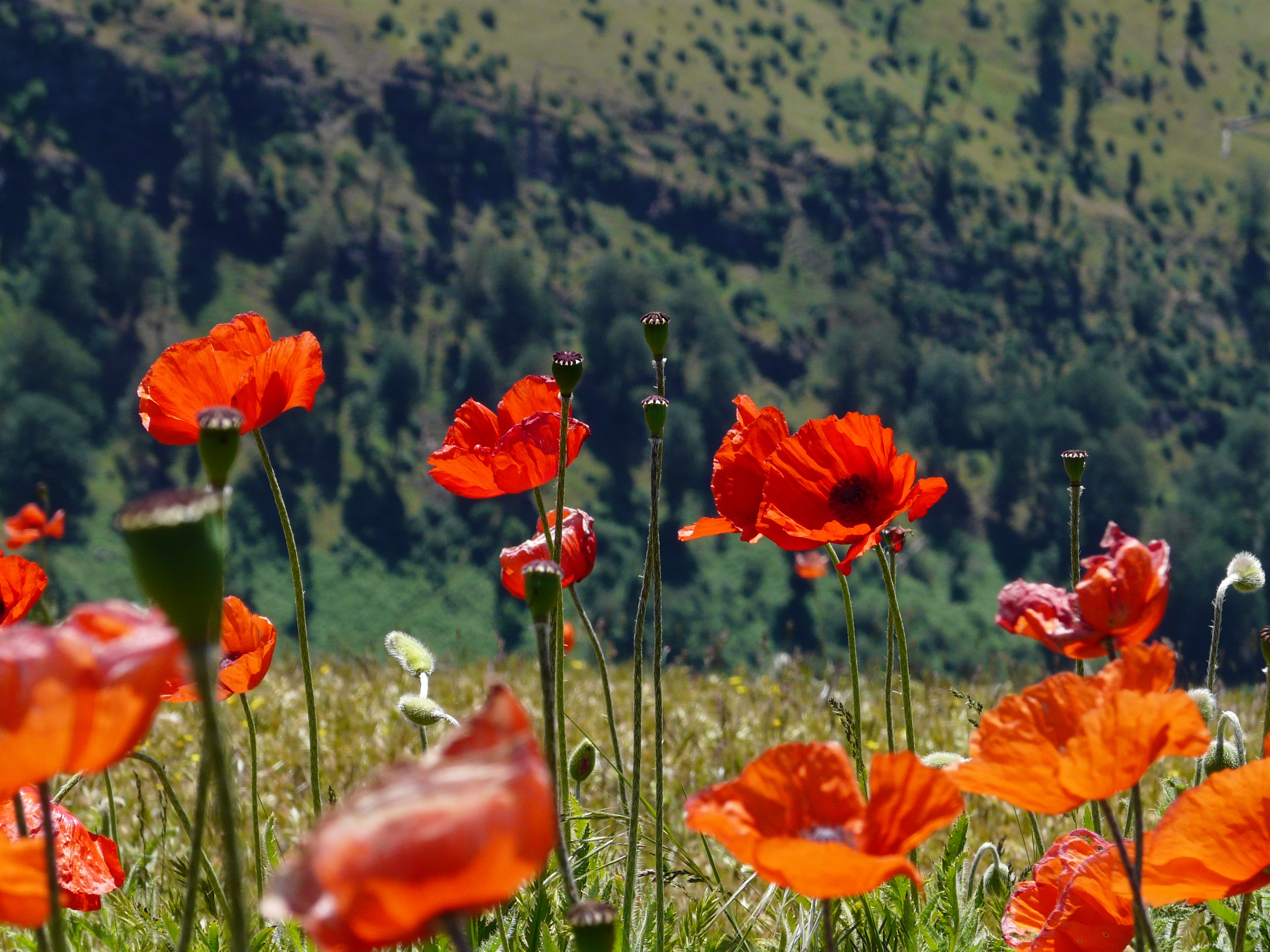 Red poppy flowers against a green field backdrop