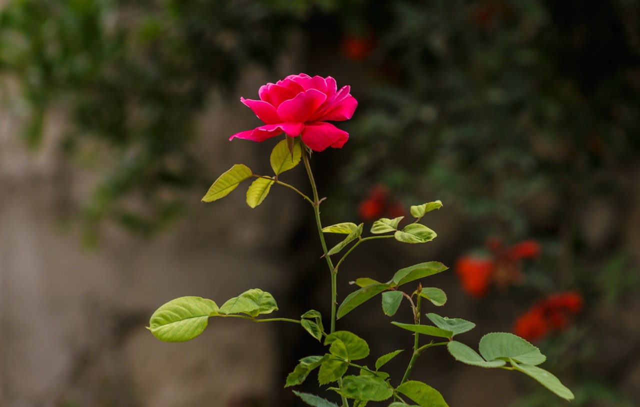 Pink rose in a bush