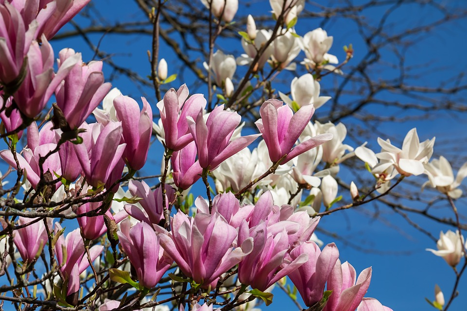 Magnolia flowers in Italy